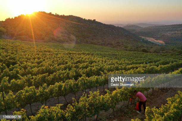 An Israeli farm worker harvests Cabernet Sauvignon grape harvest for Tzora Winery's flagship Misty Hills red wine blend in the evening to avoid the...