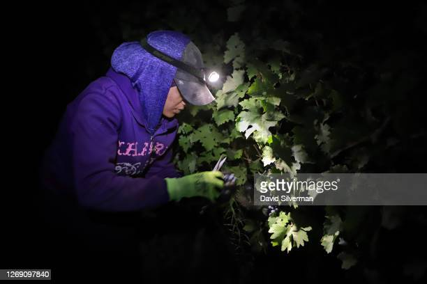 An Israeli farm worker harvests Cabernet Sauvignon grape harvest for Tzora Winery's flagship Misty Hills red wine blend at night to avoid the summer...