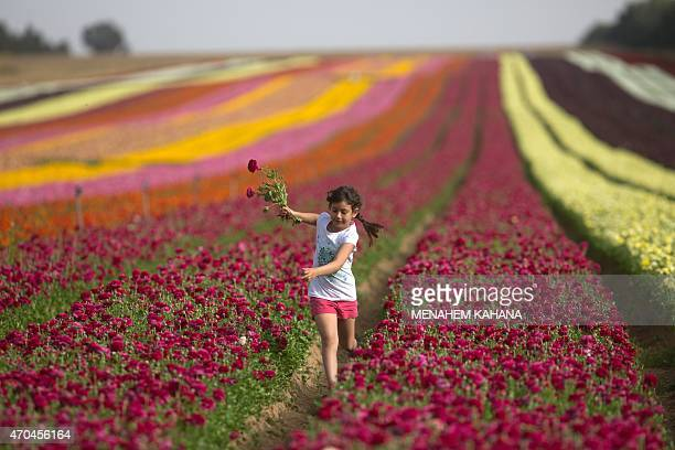 An Israeli girl picks Ranunculus flowers in a cultivated field in the southern Israeli Kibbutz of Nir Yitzhak located along the IsraeliGaza Strip...