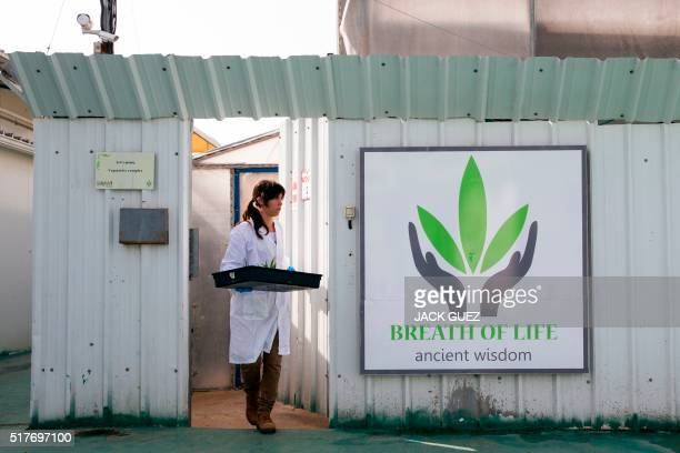 An Israeli woman works at the BOL Pharma greenhouse in the country's secondlargest medical cannabis plantation near Kfar Pines in northern Israel on...