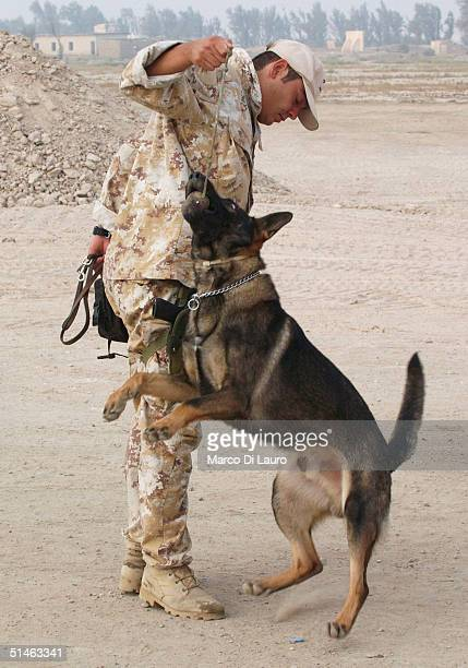 An Italian Army explosives detection German Shepard, Nikor, plays with his handler at the gate of the Italian base Camp Mittica on October 11, 2004...