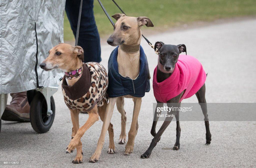 An Italian greyhounds wear coats as they arrive on the ...