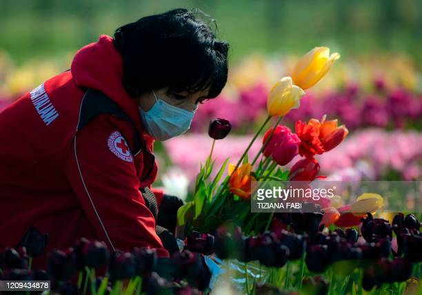 An Italian Red Cross volunteer wearing a sanitary mask to protect against the novel coronavirus, COVID-19, picks tulips in Roma Flowers Park on the...