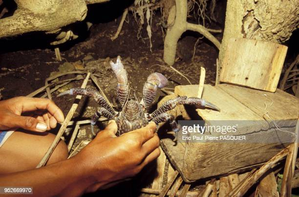 An Ivatan traps a tatus a blue coconut crab and a famous delicacy from the Batanes islands The crab's belly tastes like coconut meat Pictured on 2007...