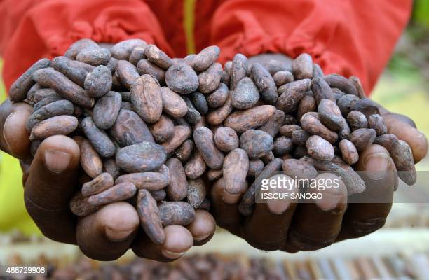 An Ivorian farmer hold cocoa beans on April 6 2015 at the International Agriculture and Animal Resources Fair in Abidjan the first since 1999 AFP...
