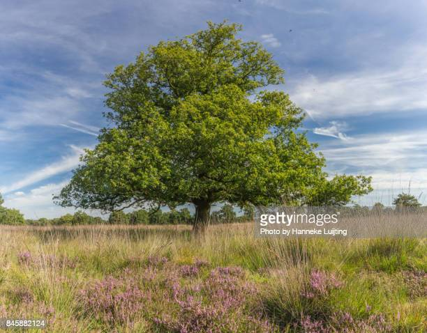 an oak tree in heather, drents friese wold national park - national park stock pictures, royalty-free photos & images