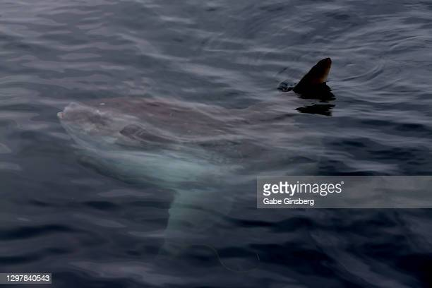 an ocean sunfish (mola mola) is spotted in the pacific ocean - mola stock pictures, royalty-free photos & images
