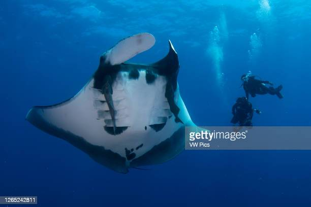 An oceanic giant manta ray and two scuba divers on the backgroung in El Boiler dive site, San Benedicto Island, Revillagigedo, Mexico.