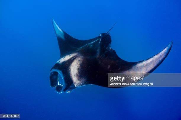 an oceanic manta ray feeding in isla mujeres, mexico. - mujeres fotos imagens e fotografias de stock