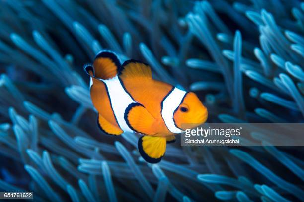 an ocellaris clownfish among tentacles of sea anemone - damselfish stock photos and pictures