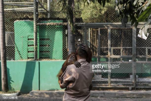 An officer takes care of the 15year old Otan Sumatran Orangutan Son in a cage of the Tegal Alur Wildlife Rescue Center in Jakarta Indonesia on...