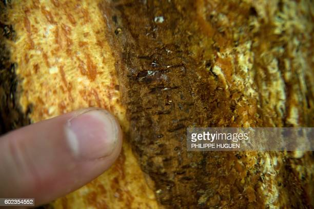 An official from the National Forestry Office identifies tree necrosis a sympton of ash dieback a fungal disease in the forest of La...