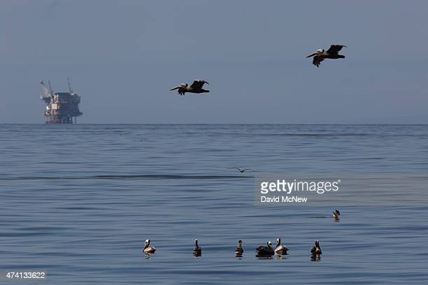 An oil platform sits in the distance as California brown pelicans fish in oilcontaminated water from an inland oil spill near Refugio State Beach on...