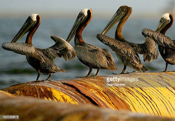 An oil stained pelican sits on a dredging hose in Barataria Bay June 19 2010 near Port Sulpher Louisiana The BP oil spill has been called one of the...