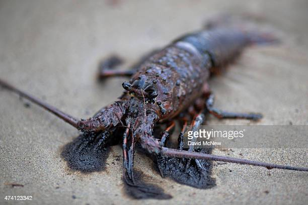 An oilcovered lobster lies dead on the beach after an oil spill near Refugio State Beach on May 20 2015 north of Goleta California About 21000...