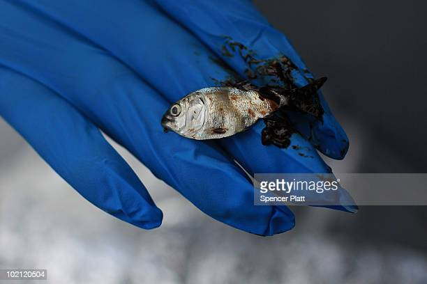 An oiled 'bait fish' is displayed on a state vessel in Bay Jimmy on June 15 2010 off of Grand Isle Louisiana The BP spill has been called the largest...