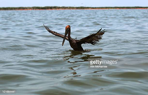 An oiled brown pelican tries to take flight from Barataria Bay June 6 2010 near Grand Isle Louisiana BP's latest attempt to stem the flow of oil from...
