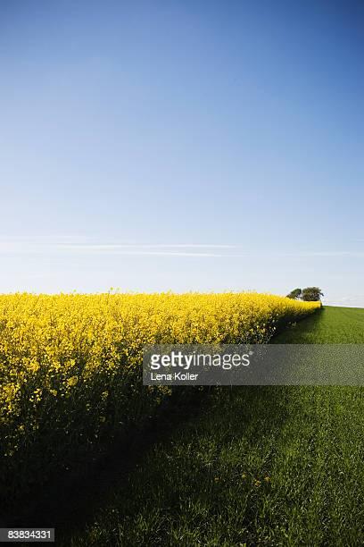 An oilseed rape field Sweden.