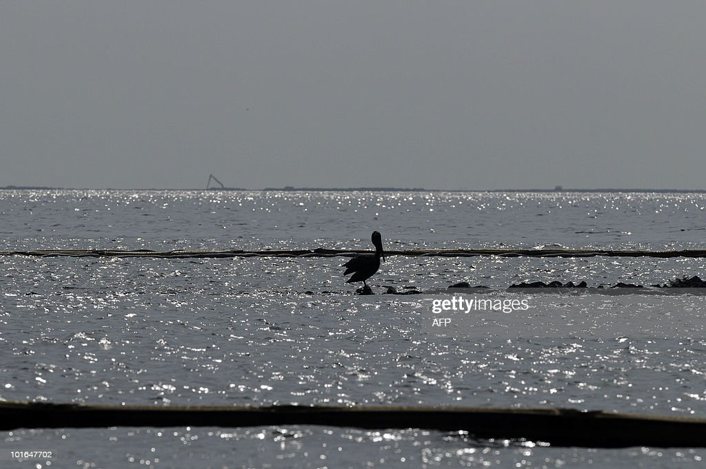 An oil-soaked pelican stands on rocks between oil-covered booms near Queen Bess Island off of Grand Isle, Louisiana, June 5, 2010. The US government will respond to complaints that not enough people are tasked with rescuing creatures soaked in oil from the Gulf of Mexico spill, a top US official pledged June 4. AFP PHOTO/Cheryl GERBER