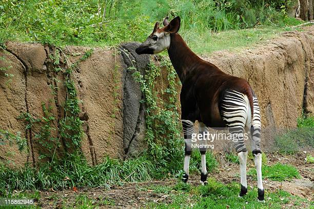 an okapi stands grazing at a rock wall. - okapi stock pictures, royalty-free photos & images