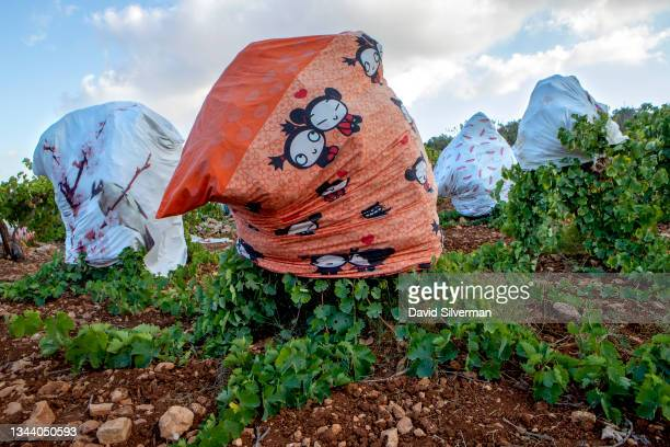 An old bed sheet decorated with with the popular South Korean cartoon character Pucca is used to cover a vine to protect the grapes from the harsh...