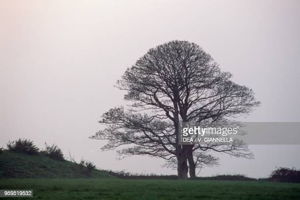 An old beech tree in Bodmin countryside Cornwall United Kingdom
