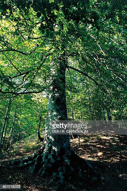 An old beech tree on the Lazio slopes of the National park of Abruzzo Lazio and Molise Lazio Italy