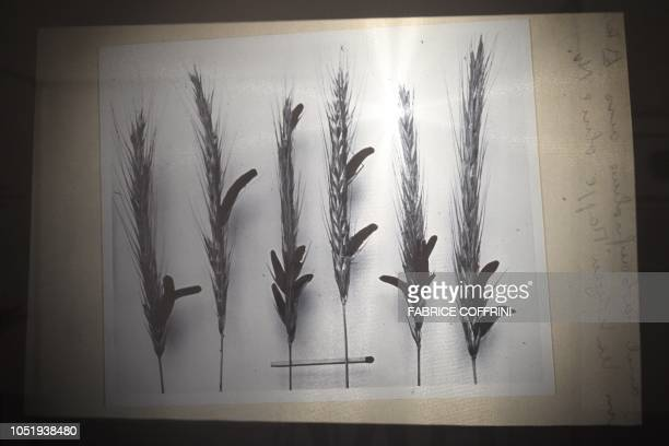 An old black and white picture showing the ergot fungus on ears of rye is seen during an exhibition entitled 'LSD the 75 Years of a Problem Child' at...
