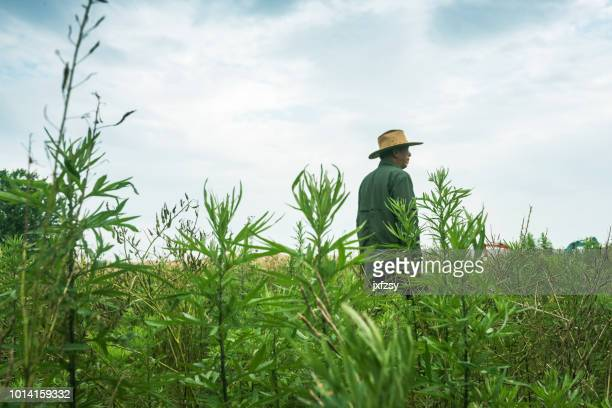 an old chinese farmer standing in the rural field - legs behind head stock pictures, royalty-free photos & images