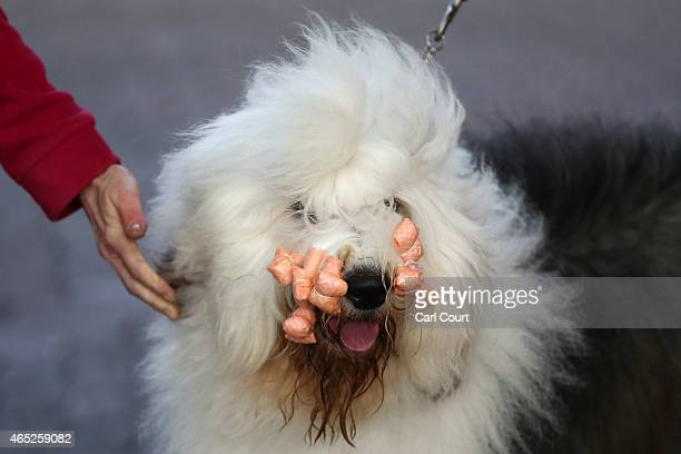 An Old English Sheepdog arrives on the first day of Crufts dog show at the National Exhibition Centre on March 5 2015 in Birmingham England First...