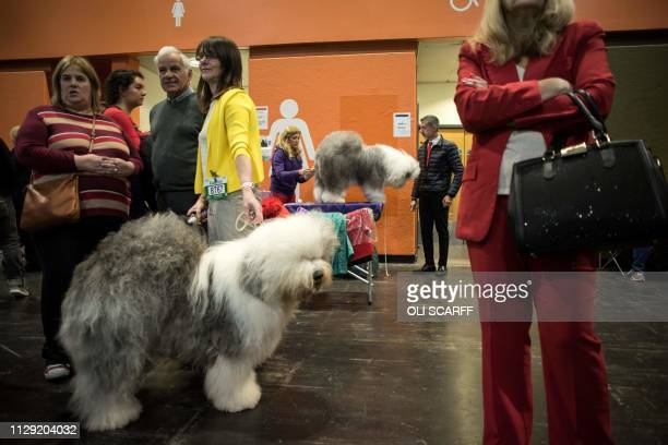 An Old English sheepdogs waits to enter a show ring for judging on the second day of the Crufts dog show at the National Exhibition Centre in...