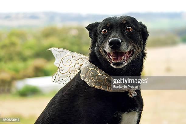 An old kelpie dog smiles wearing ribbon