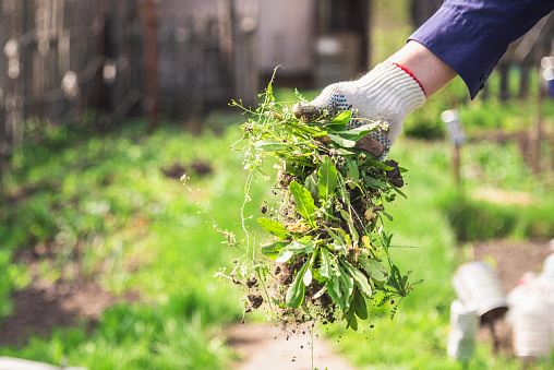 an old man throws out a weed that was harvested from his garden 1141458658