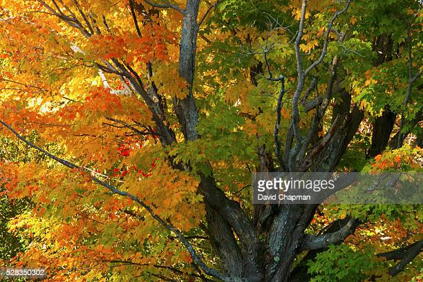 An Old Maple Tree In Autumn; Ville De Lac Brome, Quebec, Canada