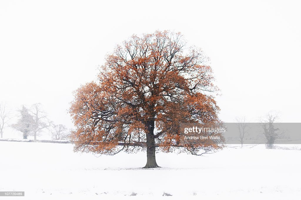 an old oak tree in a Winter snow landscape : Bildbanksbilder