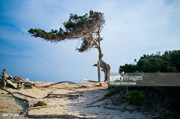 An old pine Tree at a rocky beach at Platja de des Salines on Ibiza island on May 15 2016 in Sant Josep de sa Talaia Spain