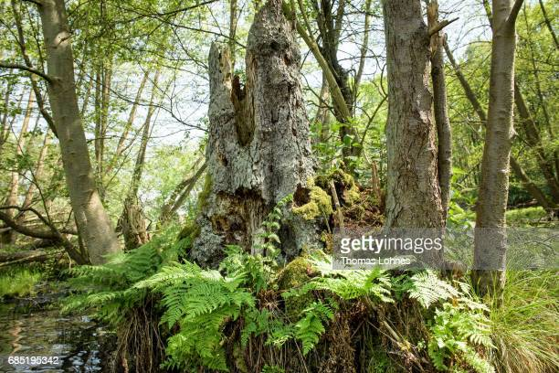 An old trunk of a tree stands at the creek 'Loecknitz' in Brandenburg state on May 19 2017 near Erkner Germany Brandenburg with its multitude of...