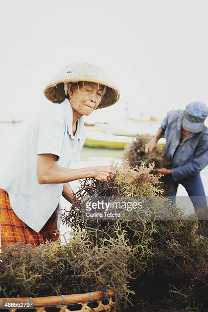 CONTENT] An old woman and man sort piles of freshly harvested seaweed from boats into baskets Seaweed farming is the traditional main industry of the...