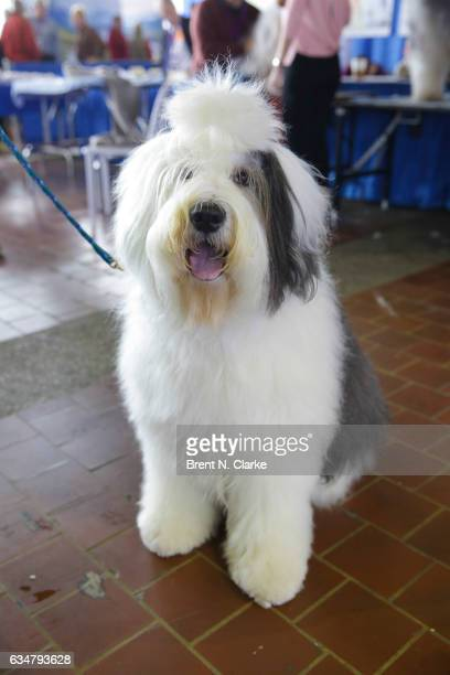 An Olde English Sheep Dog named Harry participates in the 8th annual American Kennel Club Meet the Breeds event held at Pier 92 on February 11 2017...