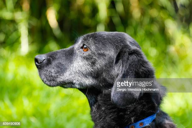 An older black mixed-breed dog in a dog shelter in Mexico City