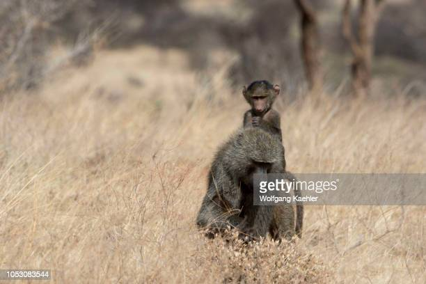 60 Top Baboon Samburu Pictures, Photos, & Images - Getty Images