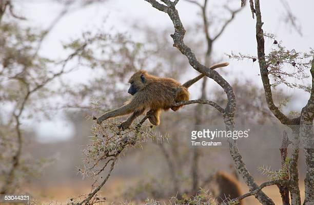 An Olive baboon Grumeti Tanzania