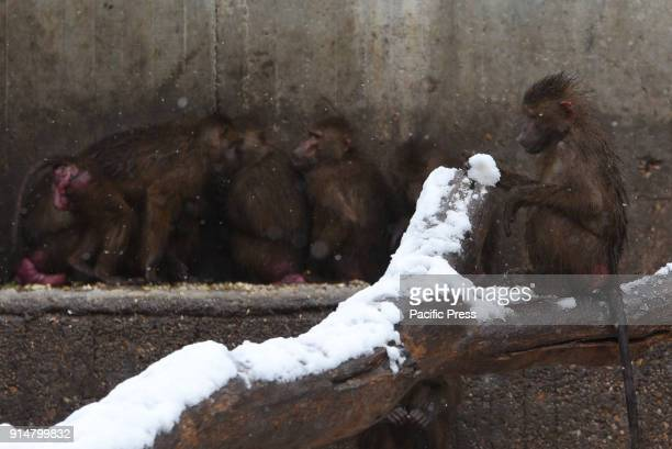 An Olive baboon sits in the snow at Madrid zoo