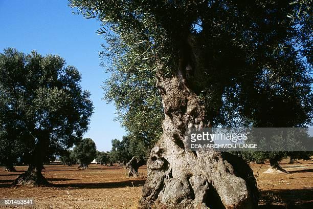 An olive grove on the Murge plateau Apulia Italy