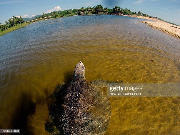 An Olive Ridley sea turtle swims at Ixtapilla beach in Aquila municipality on the Pacific coast of Michoacan State Mexico on Octuber 13 2013...