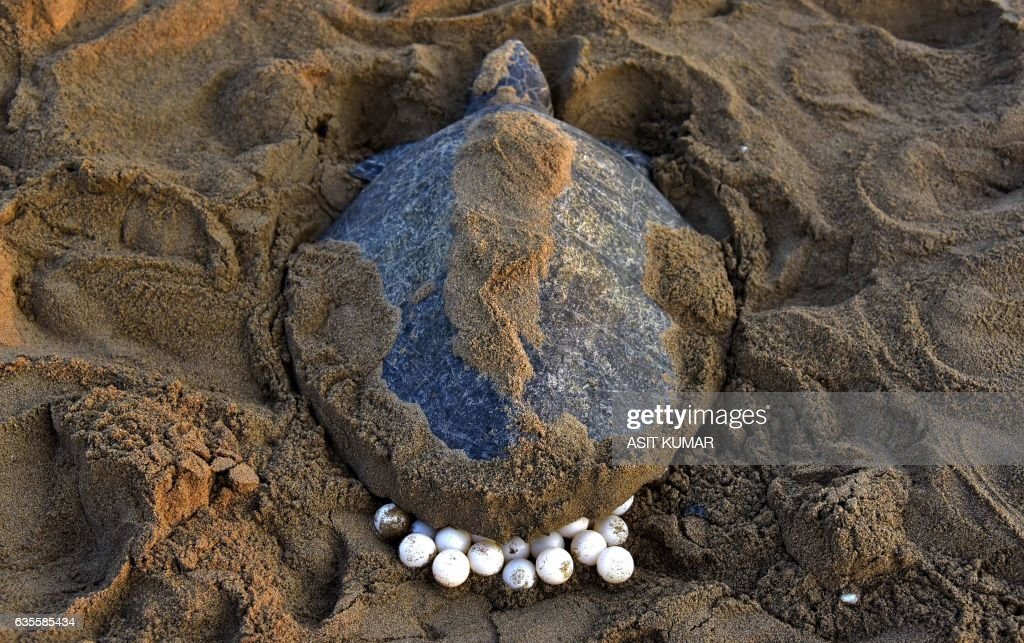 TOPSHOT - An Olive Ridley Turtle (Lepidochelys olivacea) lays her eggs in the sand at Rushikulya Beach, some 140 kilometres (88 miles) south-west of Bhubaneswar, early February 16, 2017. Thousands of Olive Ridley sea turtles started to come ashore in the last few days from the Bay of Bengal to lay their eggs on the beach, which is one of the three mass nesting sites in the Indian coastal state of Orissa. /