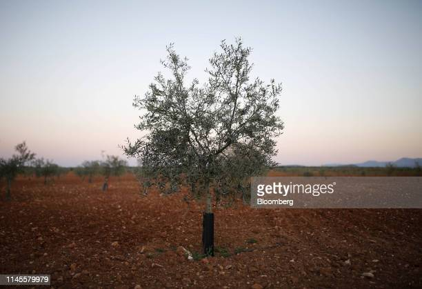 An olive tree grows in a grove in La Roda de Andalucia Spain on Wednesday March 13 2019 The relationship between Washington and Madrid is being put...