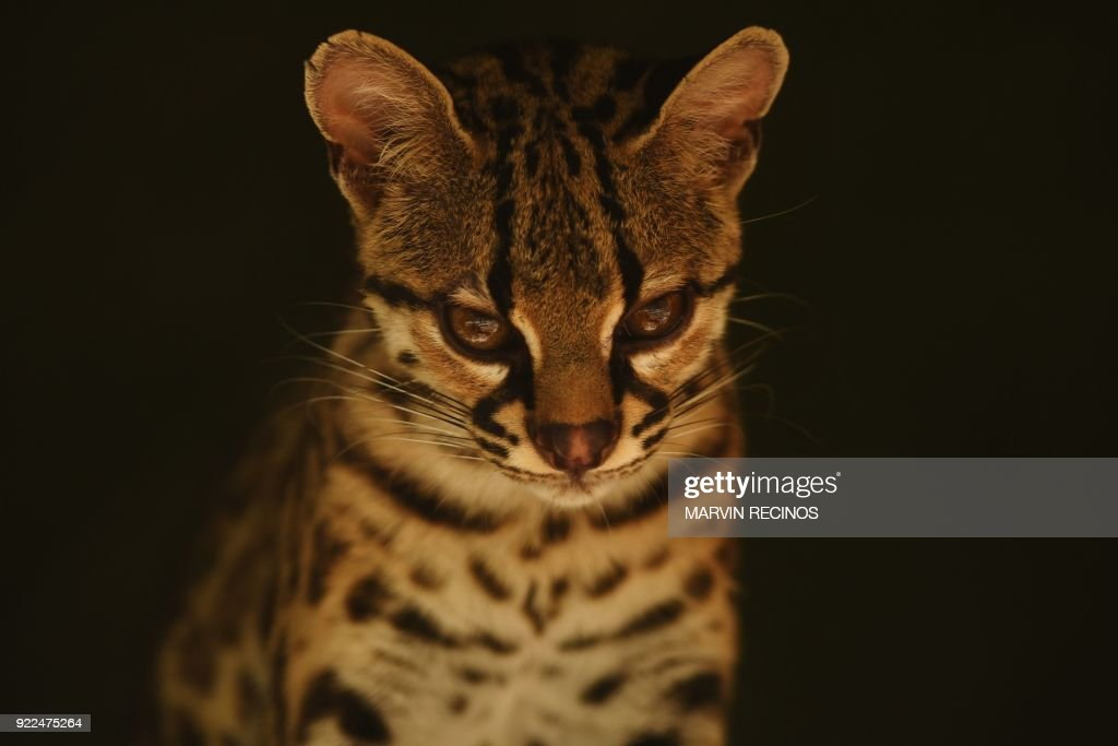 An oncilla (Leopardus tigrinus), also known as the little spotted cat, tigrillo, or tiger cat, is pictured at the National Zoo of El Salvador in San Salvador, on February 21, 2018. /