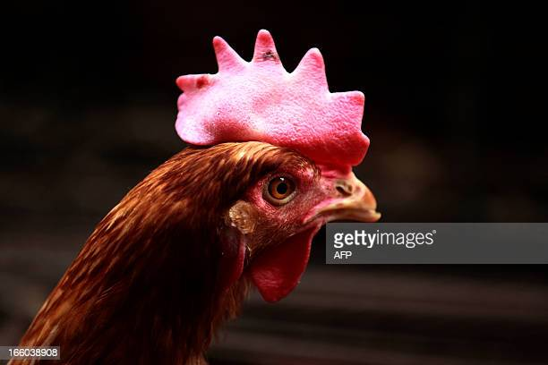 An on-sale hen is seen in a market in Huaibei, central China's Anhui province on April 8, 2013.The World Health Organisation said on April 8 that...