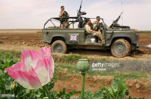 An opium poppy blooms near a British patrol on March 24, 2006 near Lashkar Gah in the Helmand province of southern Afghanistan. An advance team from...